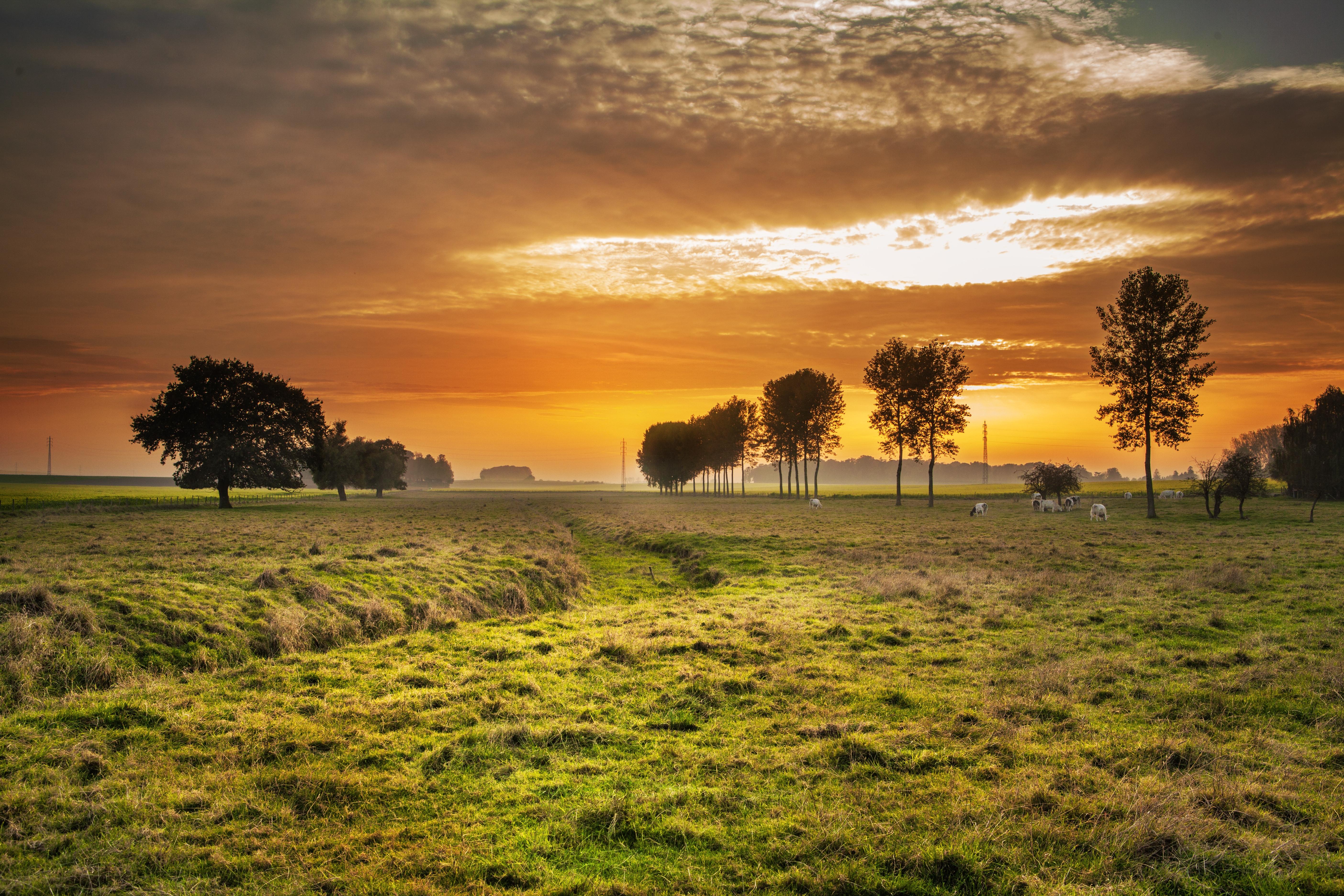 Fläche mit Bäumen und Kühen im Sonnenuntergang
